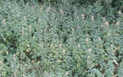 Nettle (Urtica dioica)