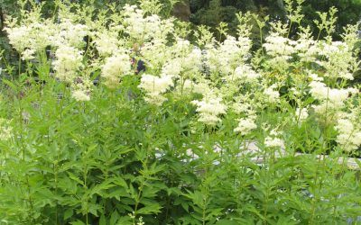 Meadowsweet is Nature's NSAID