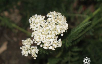 How to recognise yarrow