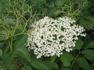 Herbs That Can Help With Hayfever