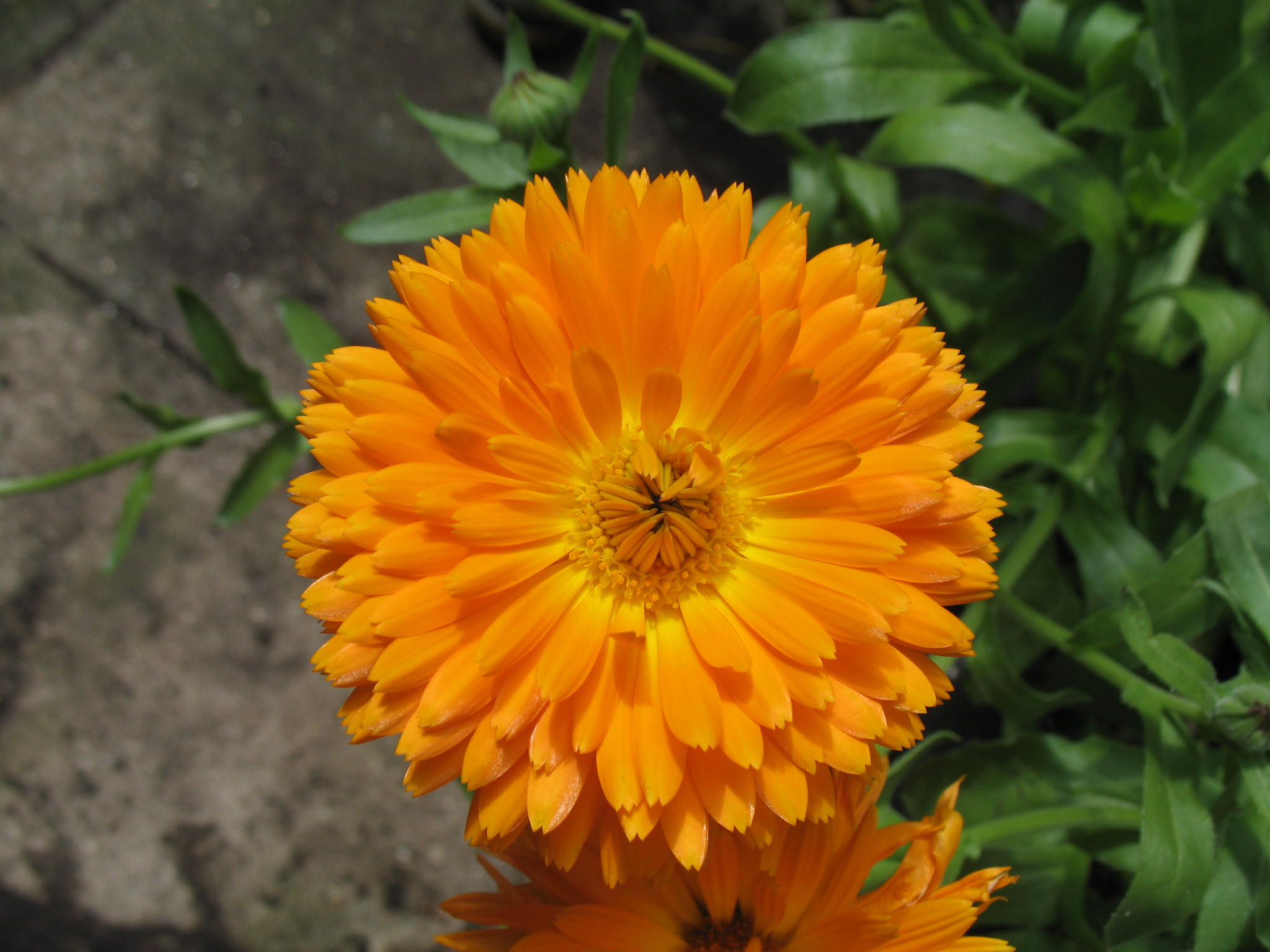 Calendula officinalis or English Marigold