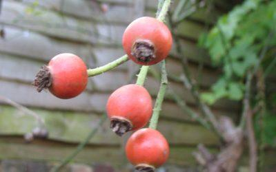 How to Make Rosehip Syrup